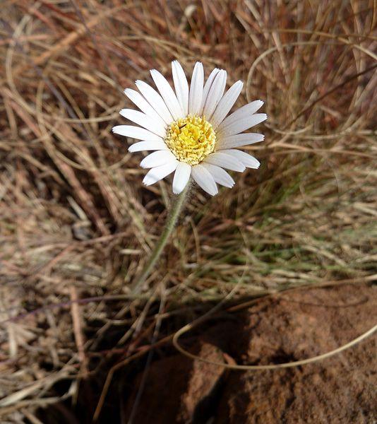 Gerbera Virdifolia - Image Source