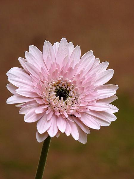 Gerbera Hybrid (Commmon Gerbera Daisy) - Source